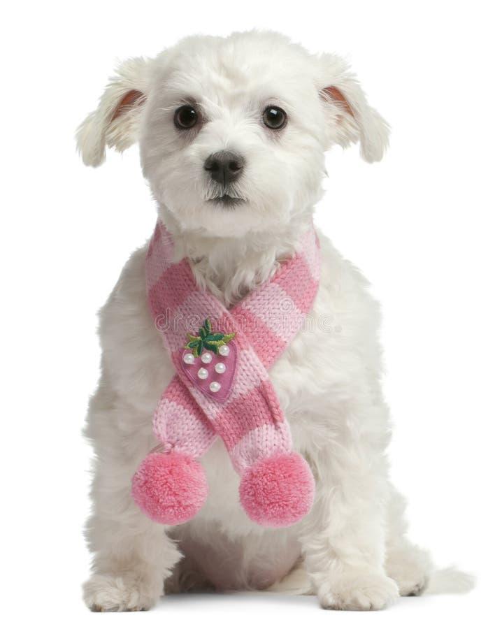 Maltese hond, 1 éénjarige, het zitten royalty-vrije stock foto's
