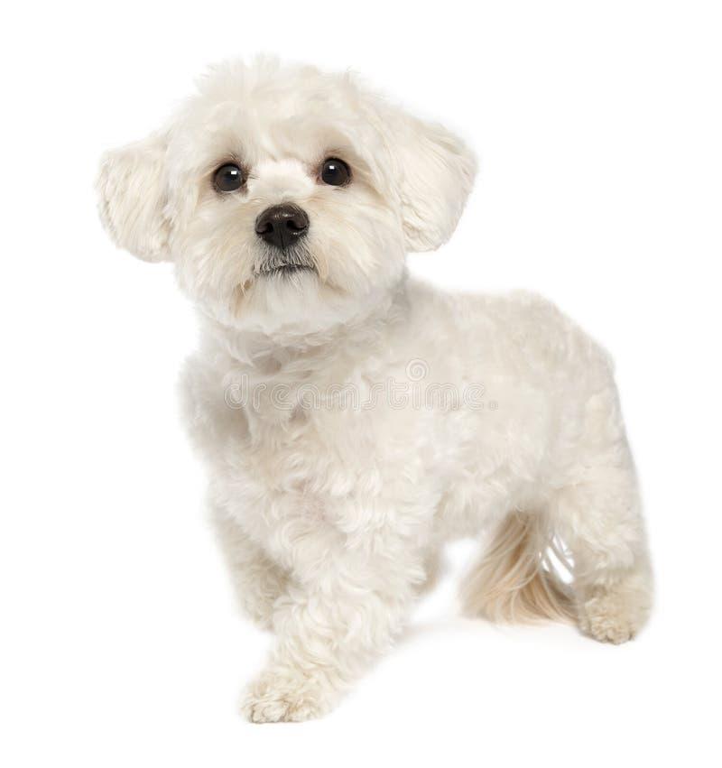Maltese hond (1 jaar) royalty-vrije stock foto