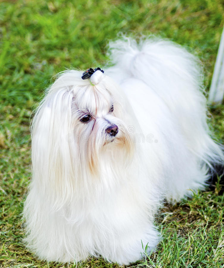 Maltese hond royalty-vrije stock foto