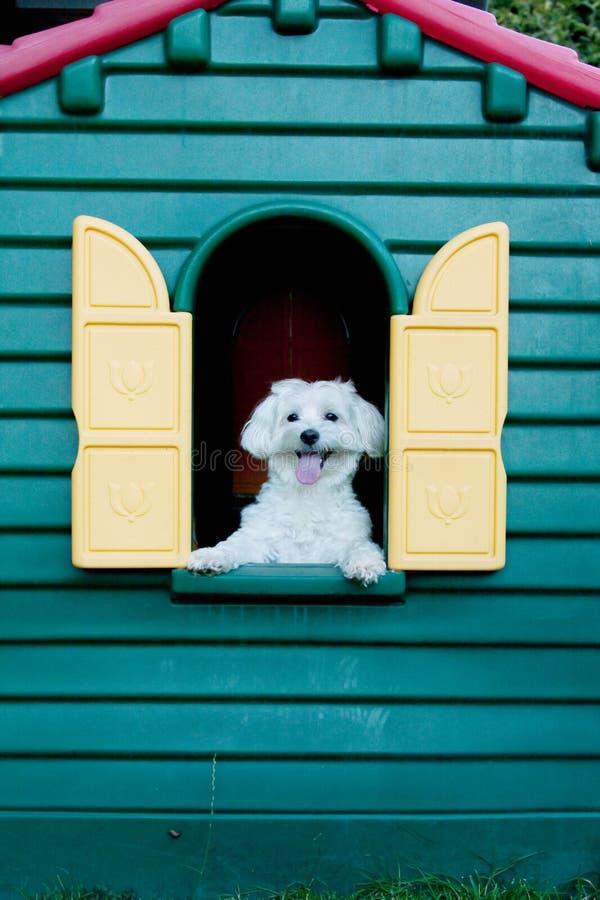 Maltese hond in de hut royalty-vrije stock foto's