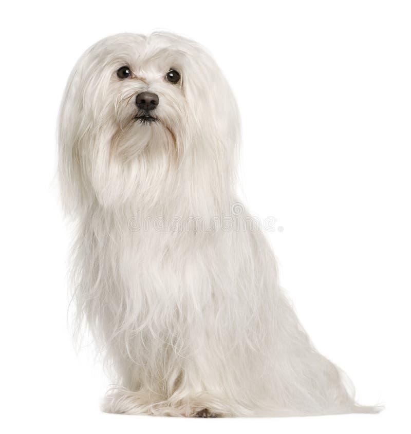 Maltese hond, die voor witte achtergrond zit royalty-vrije stock afbeeldingen