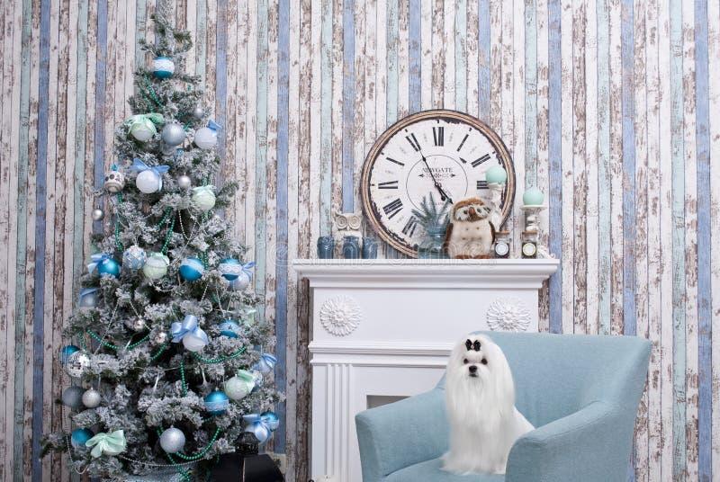 Maltese liten vit härlig hund royaltyfri bild