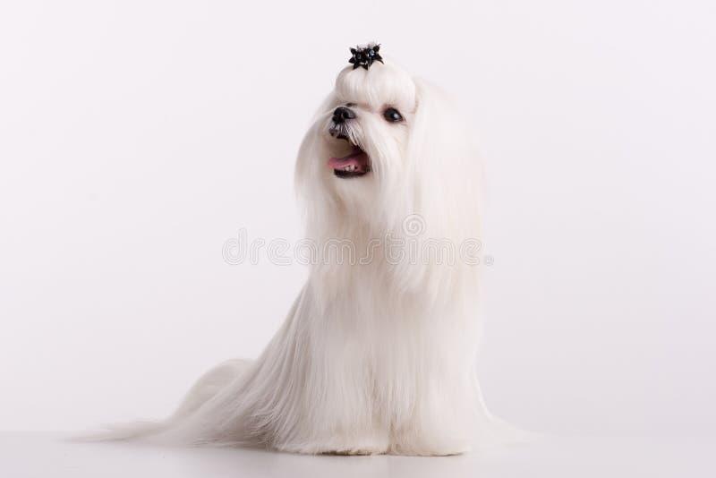 Maltese liten vit härlig hund arkivfoton
