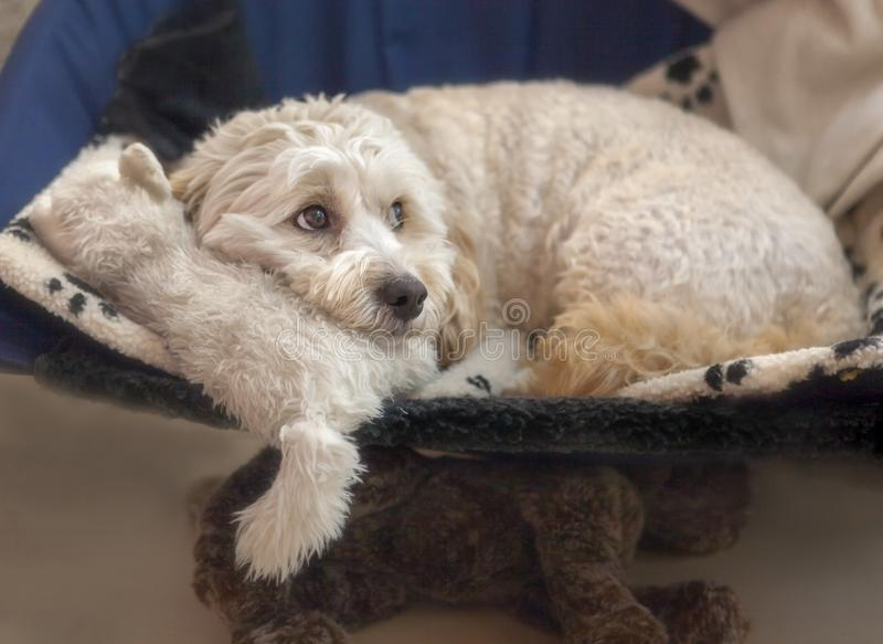 Maltese-Poodle mix Maltipoo Puppy Dog with Soft Toys. A Maltese-Poodle puppy dog cross breed resting on her soft toys, a cat and a dog, and looking very royalty free stock photography