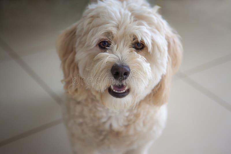 Maltese-Poodle Portrait on blurred background stock photos