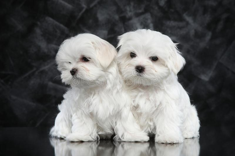 Maltese puppies on dark background royalty free stock image
