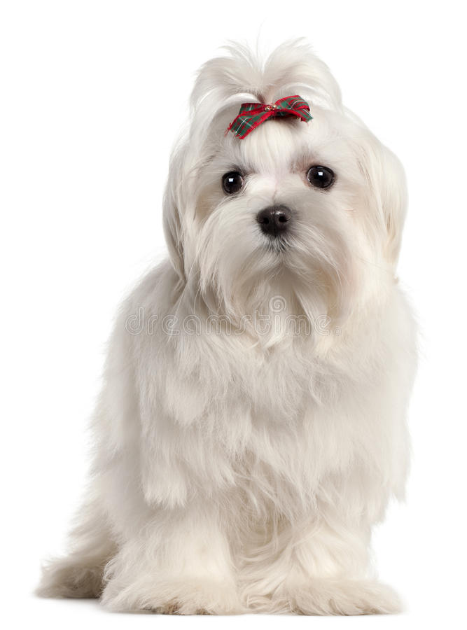 Free Maltese Puppy, 4 Months Old Royalty Free Stock Photography - 20378857