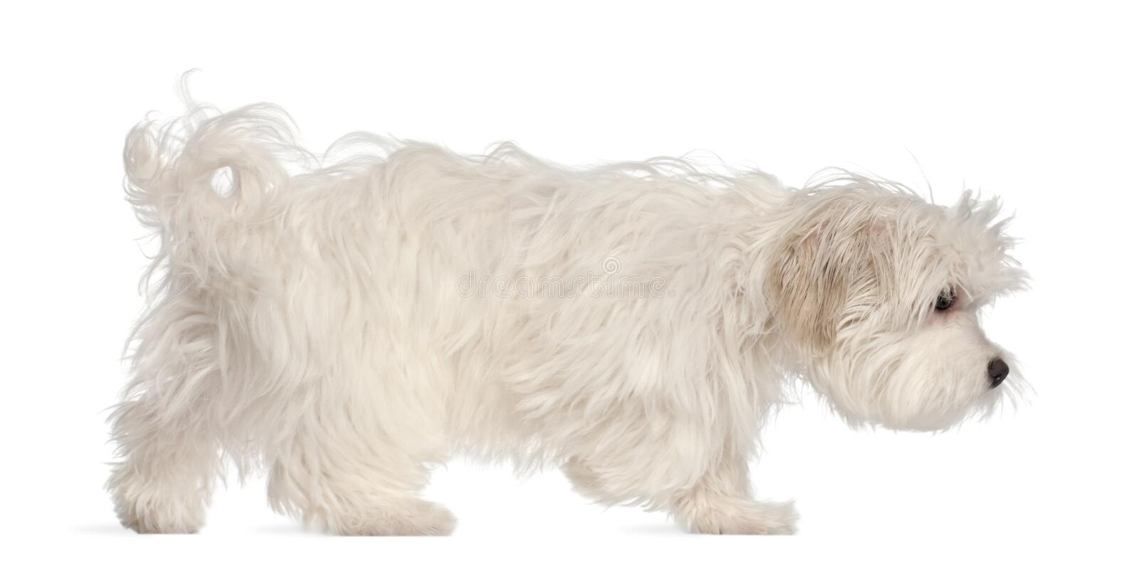 Maltese puppy, 5 months old stock photo
