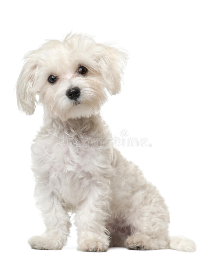 Maltese puppy, 6 months old, sitting stock photo