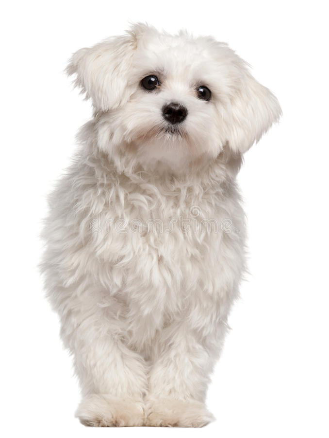Maltese puppy, 9 month old, standing royalty free stock photos