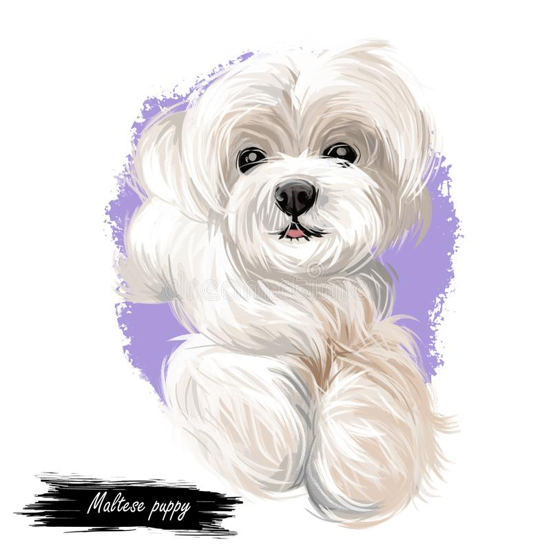 Maltese puppy, canis maelitacus breed of toy type vector illustration