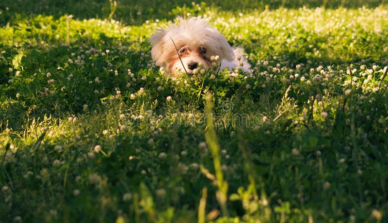 Maltese puppy dog is hiding on grass behind flowers stock photo