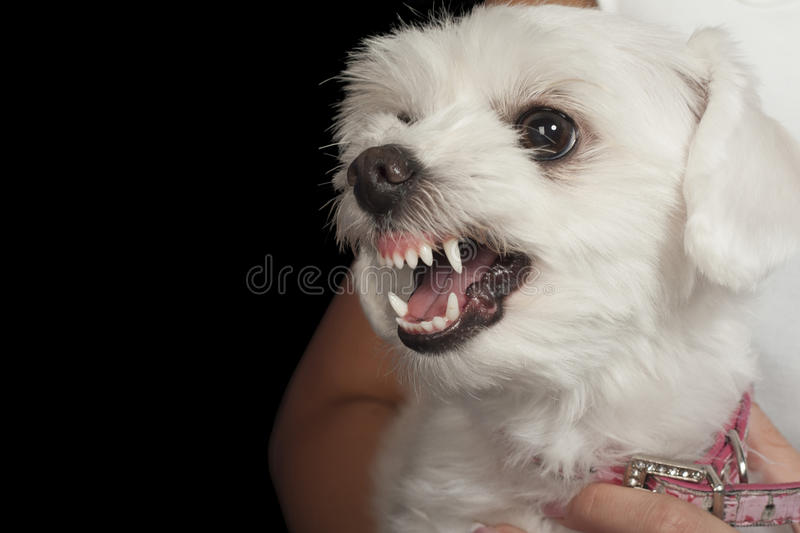 maltese dog. download maltese puppy royalty free stock photo - image: 30774945 dog