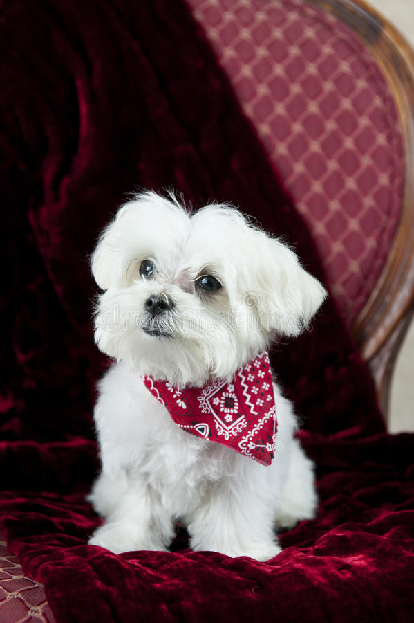 Maltese Puppy On Red stock photos