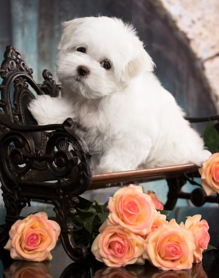 Maltese puppy sits on dark background. Studio shoot. stock images
