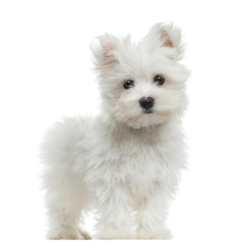 Maltese puppy standing, looking at the camera, 2 months old royalty free stock image