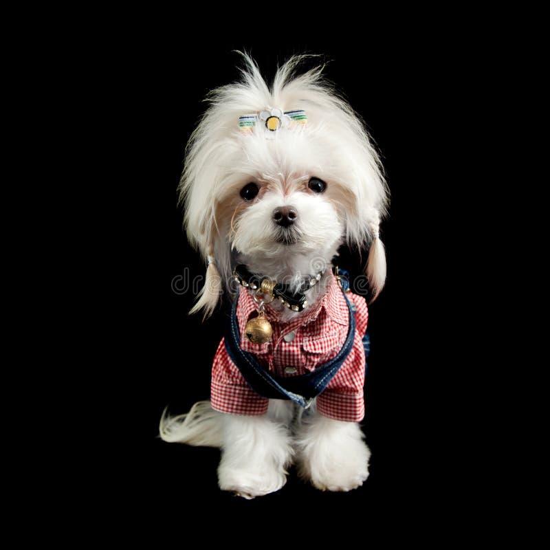 Maltese terrier stock image