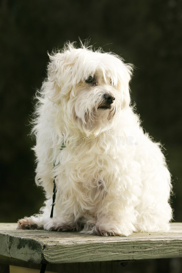Download Maltese Terrier stock photo. Image of board, dogs, hound - 465870