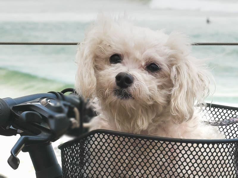 Maltese terrier in a bicycle basket at kirra stock images