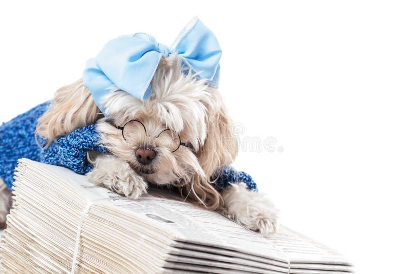Maltese Terrier Girl stock images