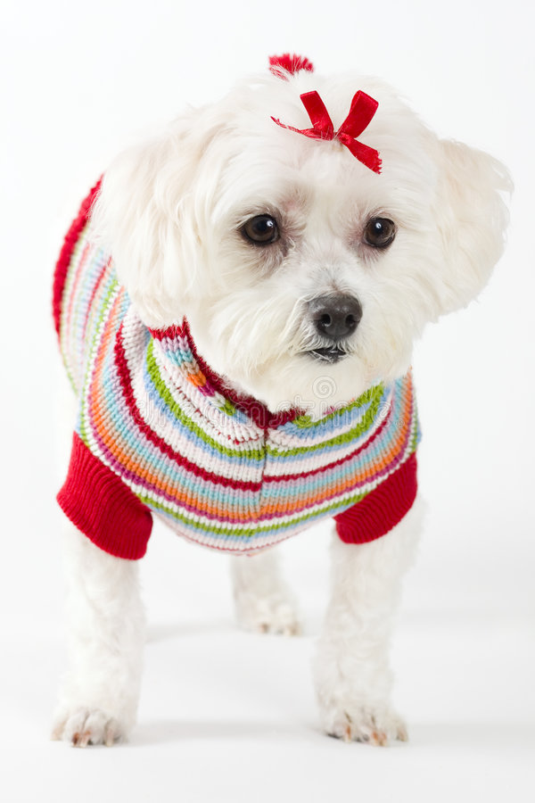 Maltese terrier wearing knitted jumper stock images