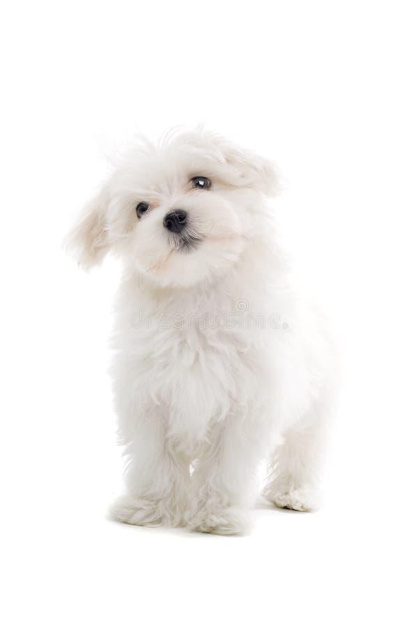 maltese valp för hund royaltyfri bild