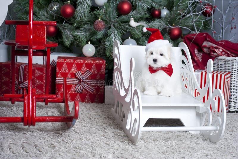 Maltese valp för liten vit härlig hund royaltyfria foton