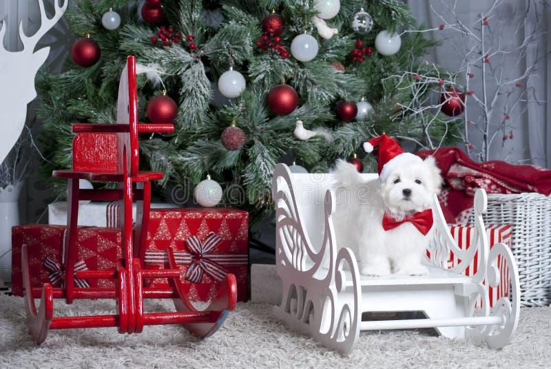 Maltese valp för liten vit härlig hund fotografering för bildbyråer