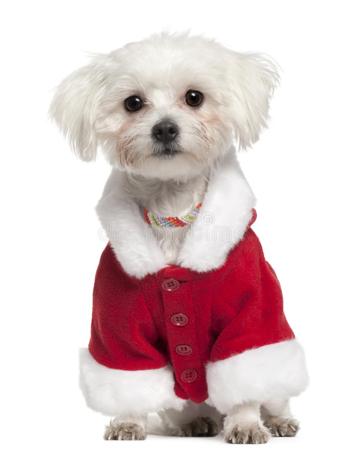 Download Maltese Wearing Santa Outfit, 18 Months Old Royalty Free Stock Photography - Image: 17598377