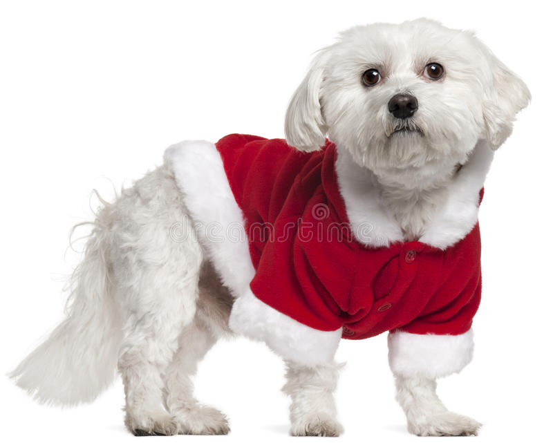 Maltese wearing Santa outfit, 5 years old