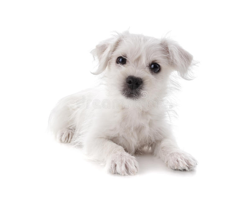 Maltese Westie puppy. Maltese Westie or West Highland Terrier puppy isolated on white background royalty free stock photography