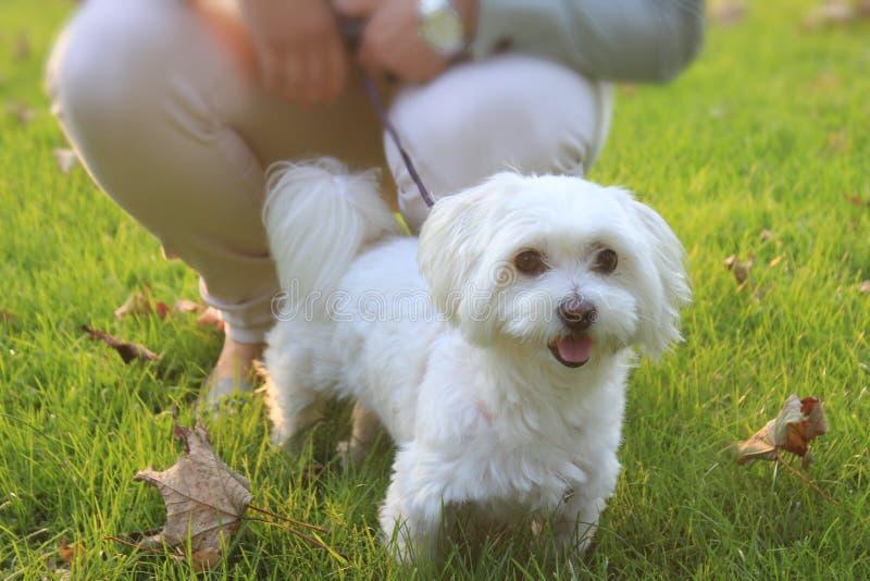 Malteser/maltés - mestizo del oeste de Higland Terrier fotografía de archivo