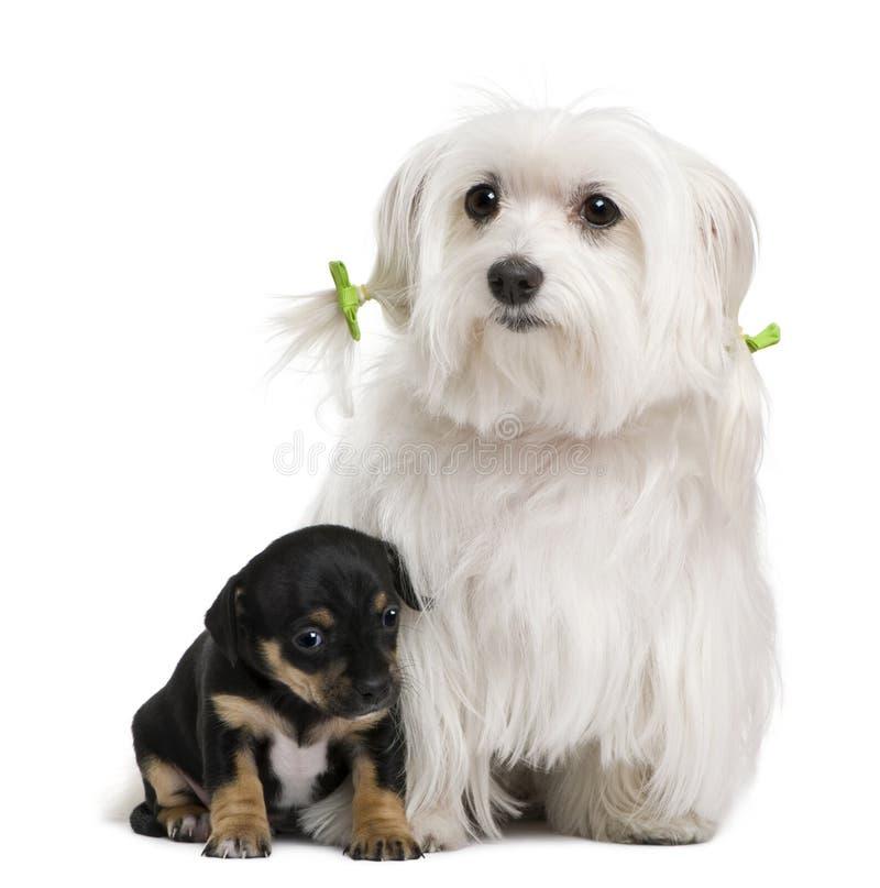 Malteses, 7 anos velho com misturado-produzem o filhote de cachorro fotos de stock royalty free