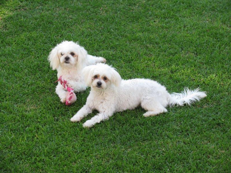 Maltesische Hunde lizenzfreie stockbilder