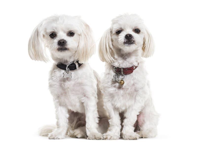 Maltesische Hunde, 4 Jahre alt, sitzend gegen weißen Hintergrund lizenzfreie stockbilder