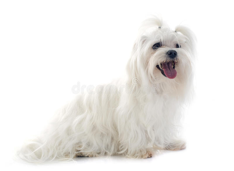 Maltesischer Hund lizenzfreie stockbilder