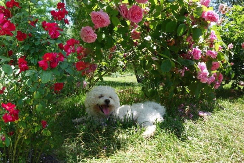 Maltesischer Hund stockfotografie