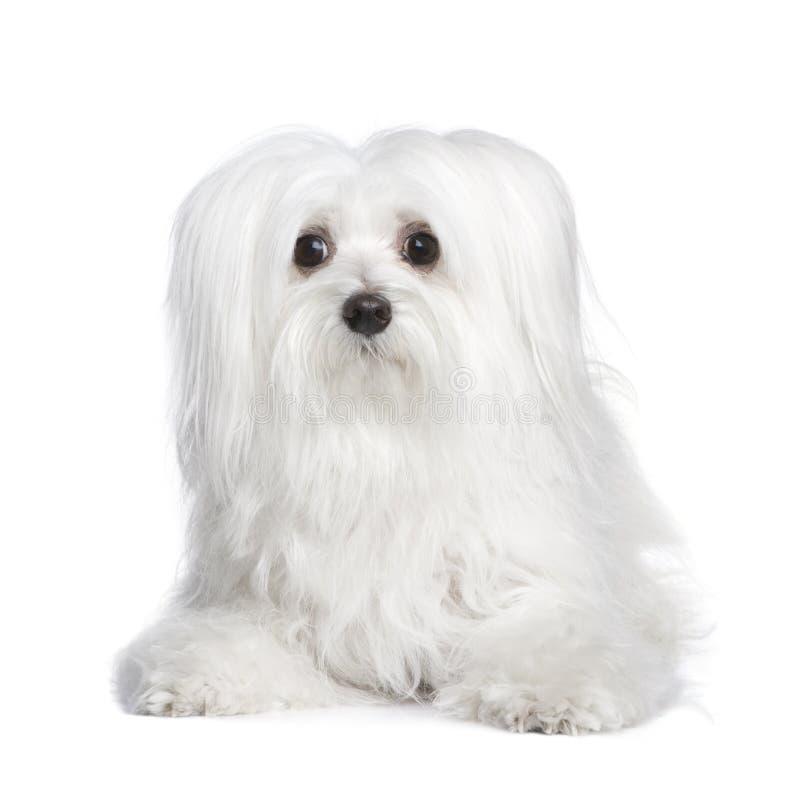 Maltesischer Hund (8 Jahre) lizenzfreies stockbild