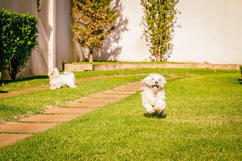 Maltesischer Hund, der auf dem Gras läuft lizenzfreies stockbild