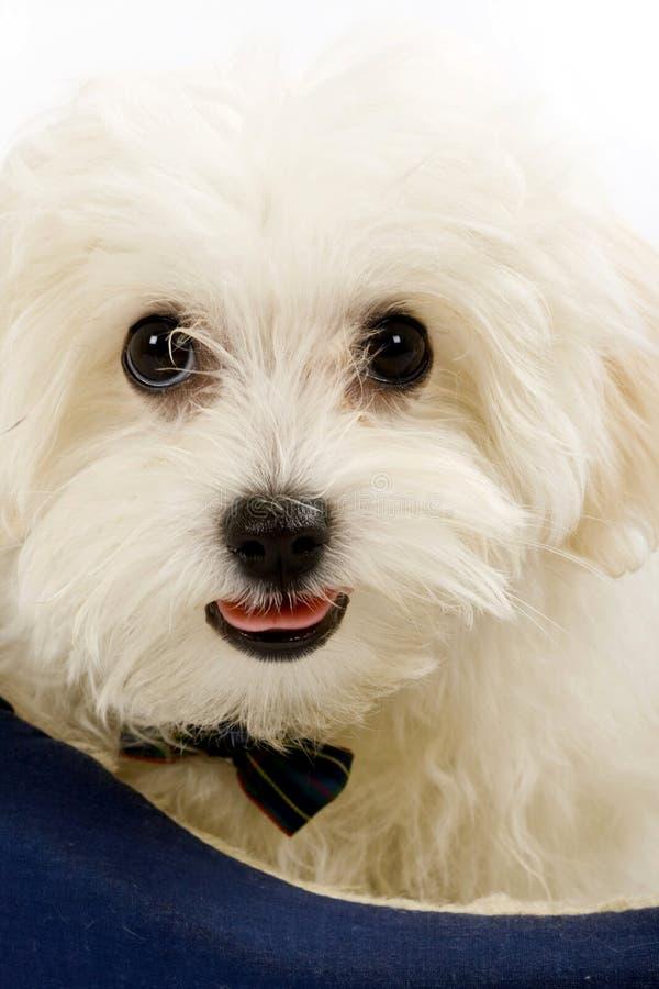Maltesischer Hund, der innen in einem Welpenbett liegt stockfotos