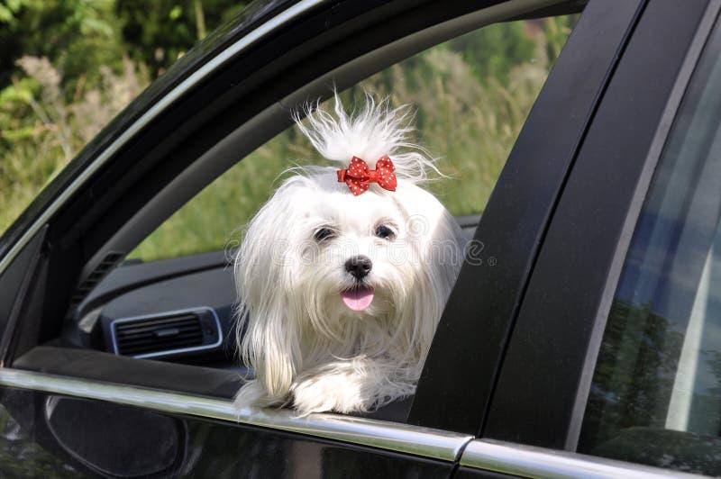 Maltesischer Hund im Auto, welches heraus das Fenster schaut stockfotos
