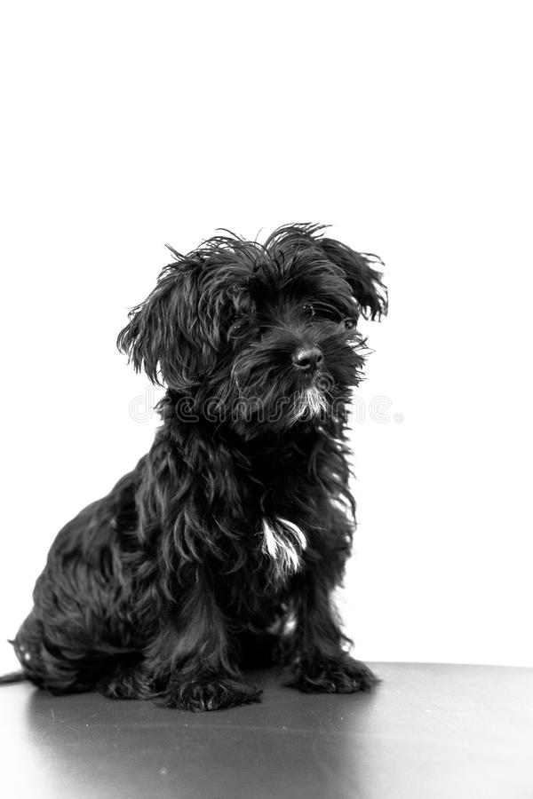 Maltesischer schwarzer Hund stockbild