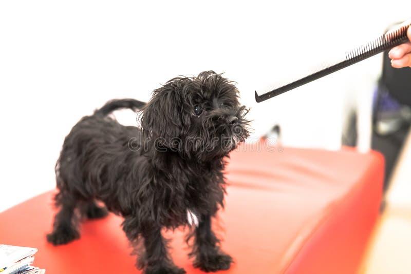 Maltesischer schwarzer Hund stockbilder
