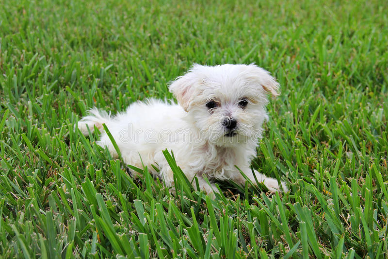Maltesischer Welpe im Gras stockfoto