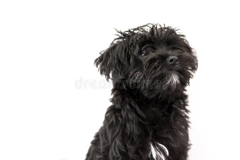 Maltesischer Welpenhund lizenzfreie stockbilder