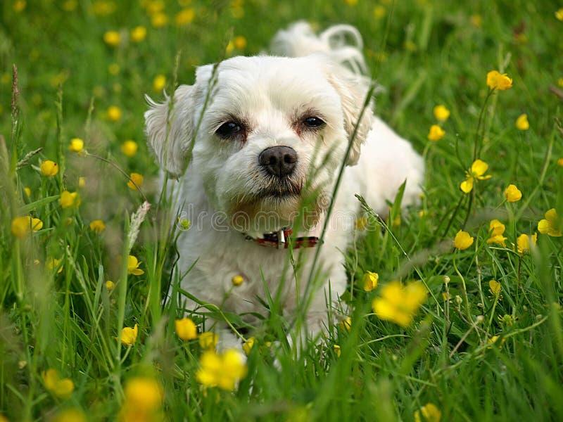 Maltesisk hund på en blommande äng royaltyfri fotografi