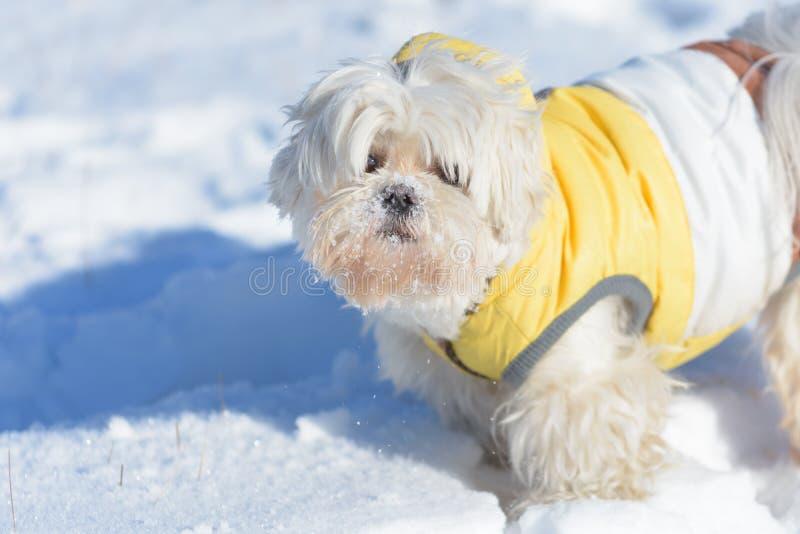 Maltesiskt spela för gullig hund som är utomhus- i snö arkivfoto