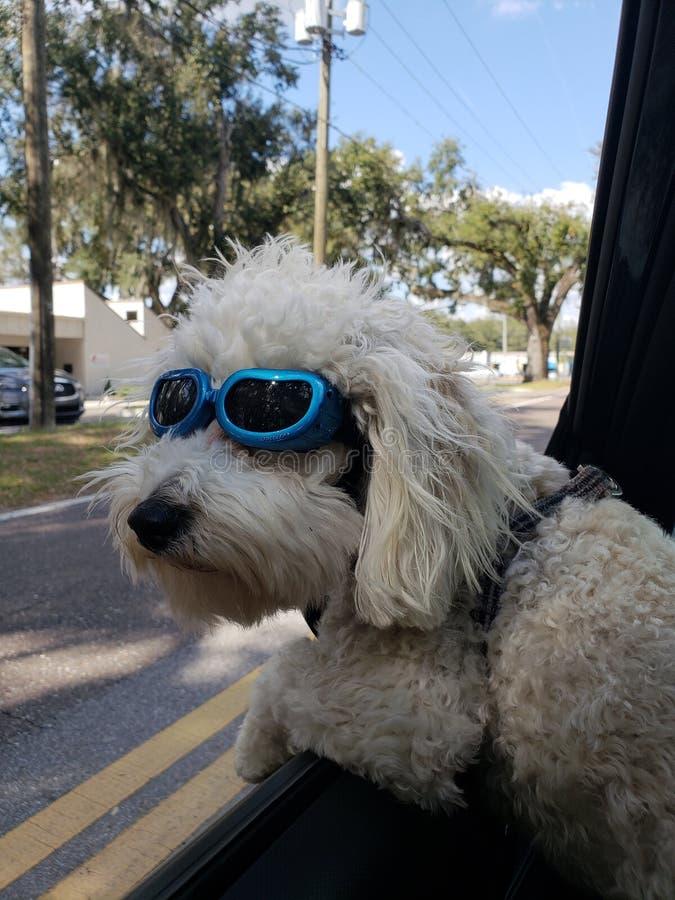 Malti-poo sporting his shades stock photography