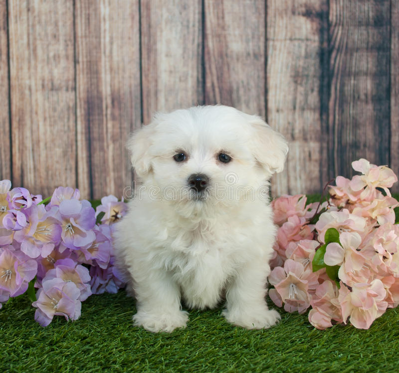 Maltipoo Puppy stock image