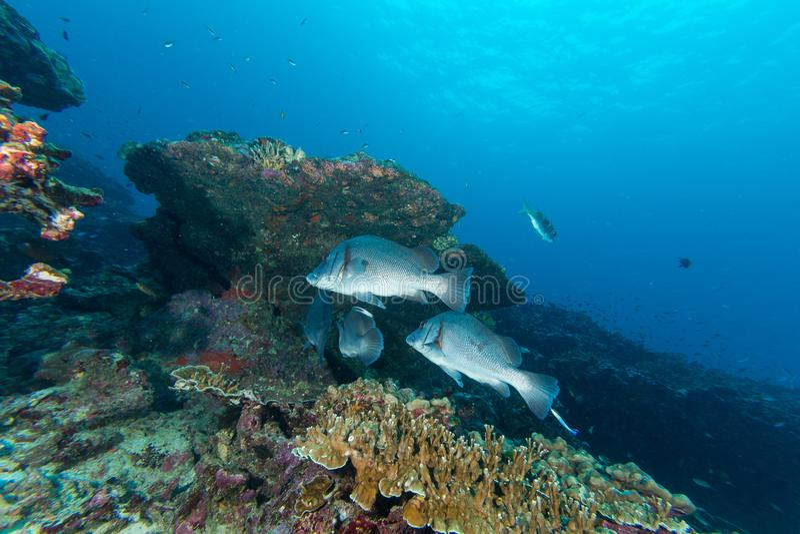 Malująca sweetlip ryba fotografia royalty free